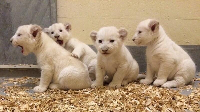 Filhotes do Toronto Zoo