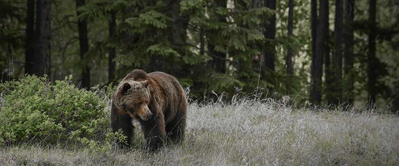 Urso no passeio de observação da vida selvagem em Jasper